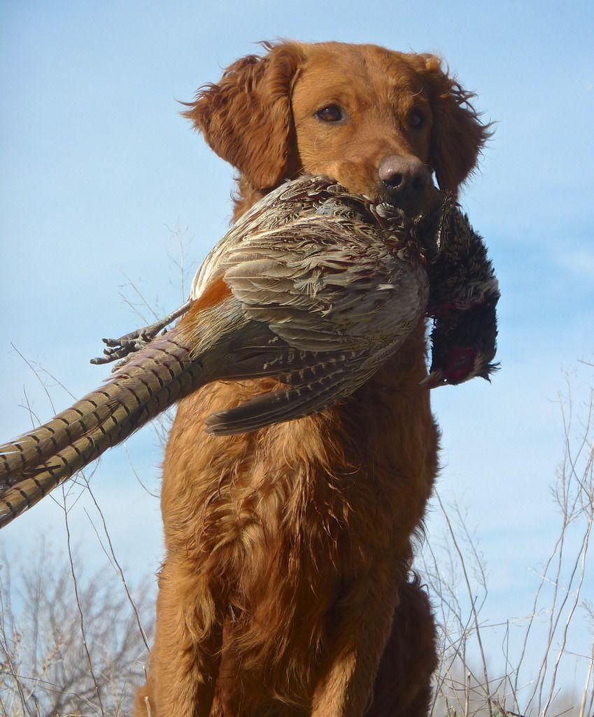 Golden Retriever Hunting Golden Retriever Hunting Golden