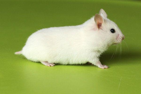 Black Eyed White Bew Syrian Hamster By Pessie83 Deviantart Com