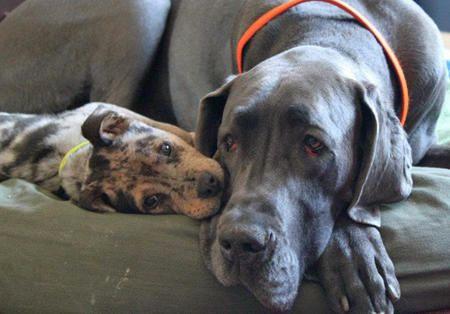 Gibbs The Catahoula Leopard Dog Mix And His Great Dane Big Brother