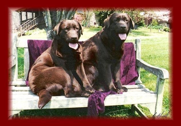 Chocolate Angels Labrador Retriever Animals Labrador