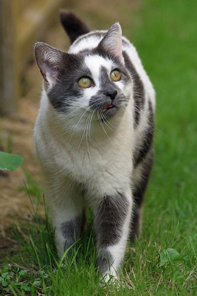 Unique cat, grey and white. Beautiful cats, Kittens