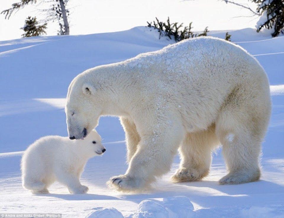 Les photos d'un petit ours polaire qui sort de sa tanière pour la toute première fois | Buzzly