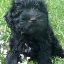 Schnoodle Photo Gallery I Want A Schnoodle Schnoodle