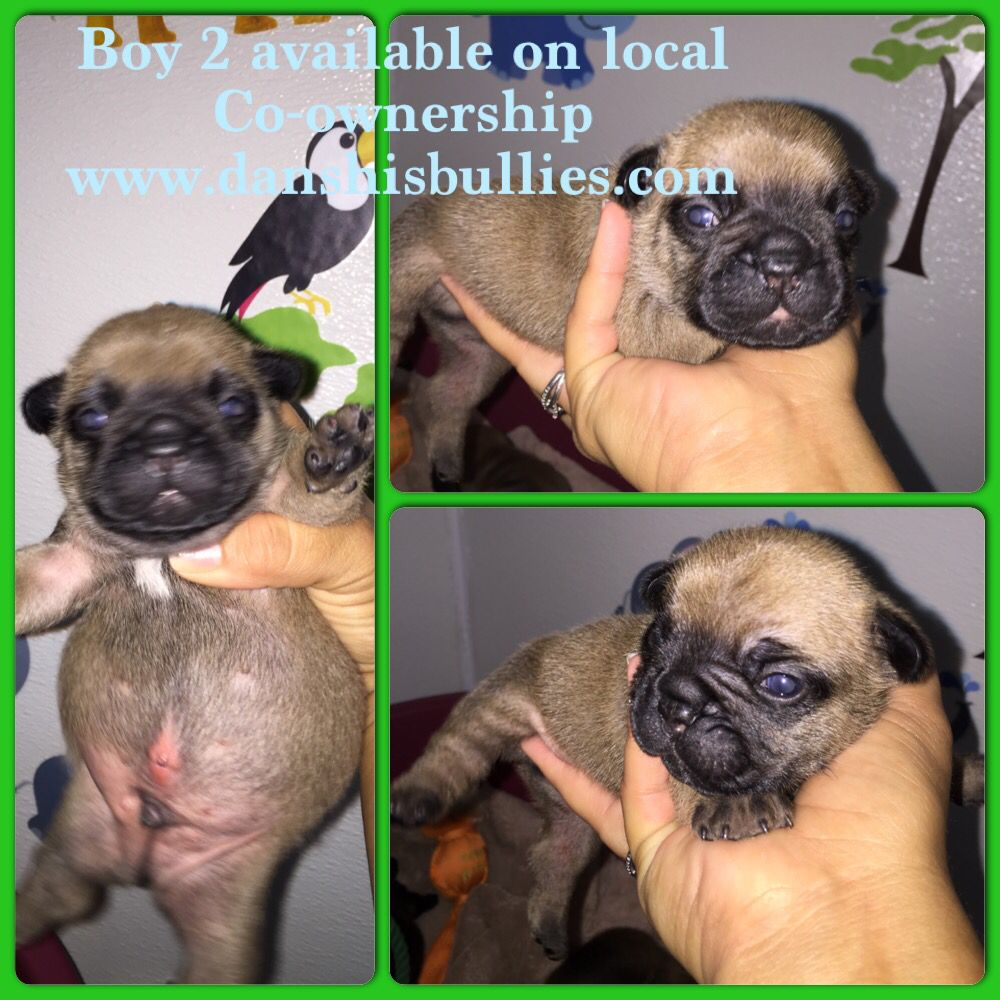 Puppies Are Available 2 1 2 Weeks Old Akc French