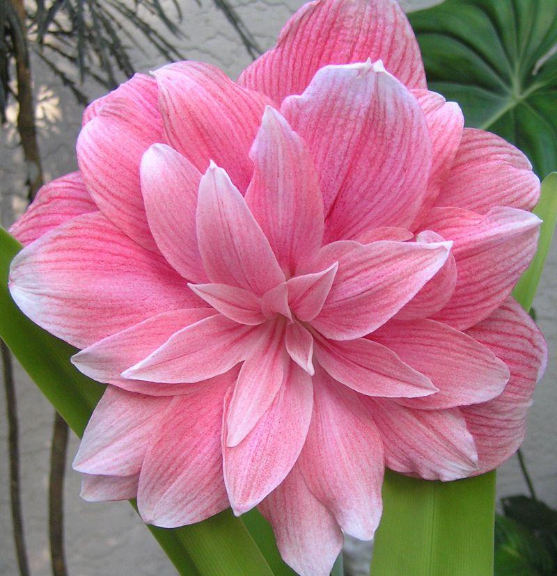 Double dream amaryllis amaryllis hippeastrum forum for Amaryllis jardin
