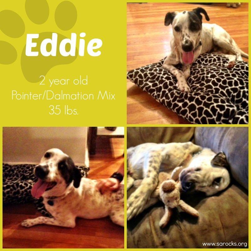 Adopt eddie on petfinder catahoula leopard dog mix pet
