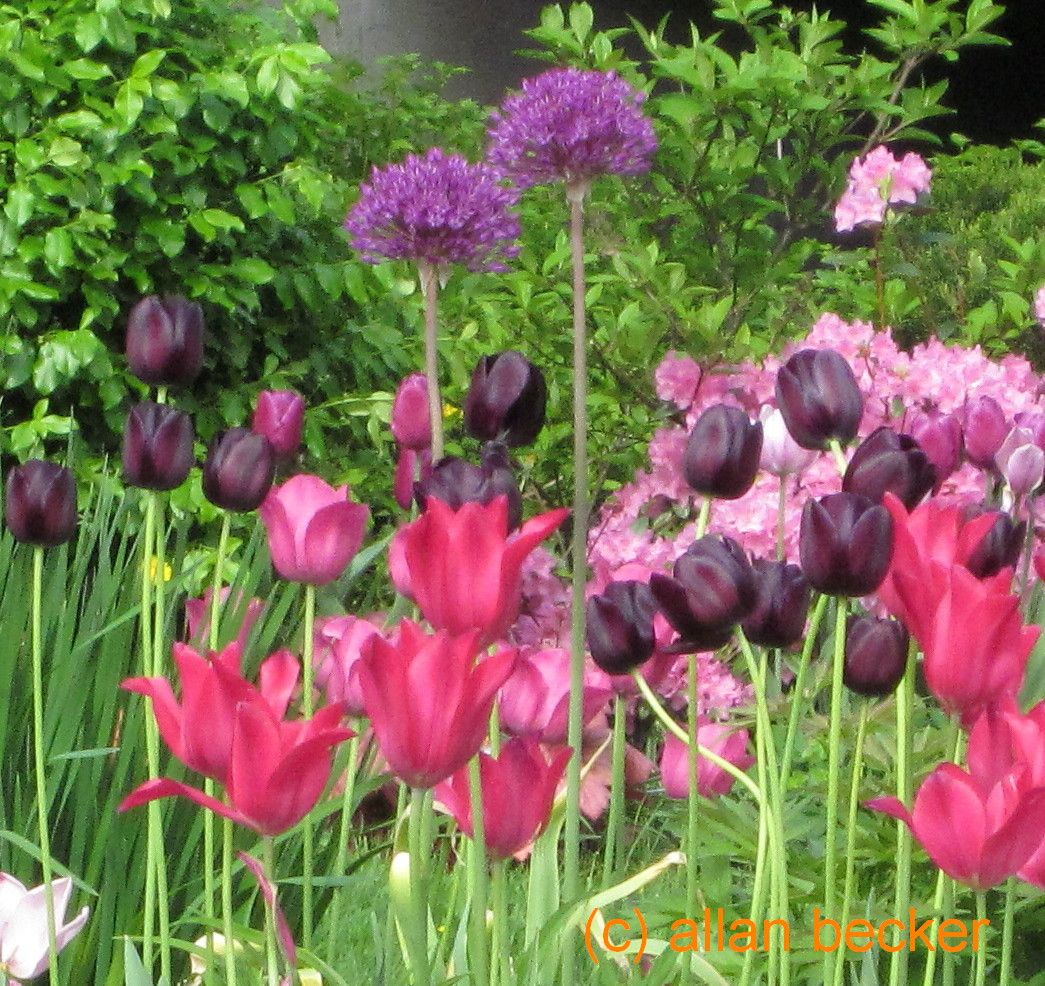 Tall Garden Flowers allium alert: about those tall purple balls. - journal - garden