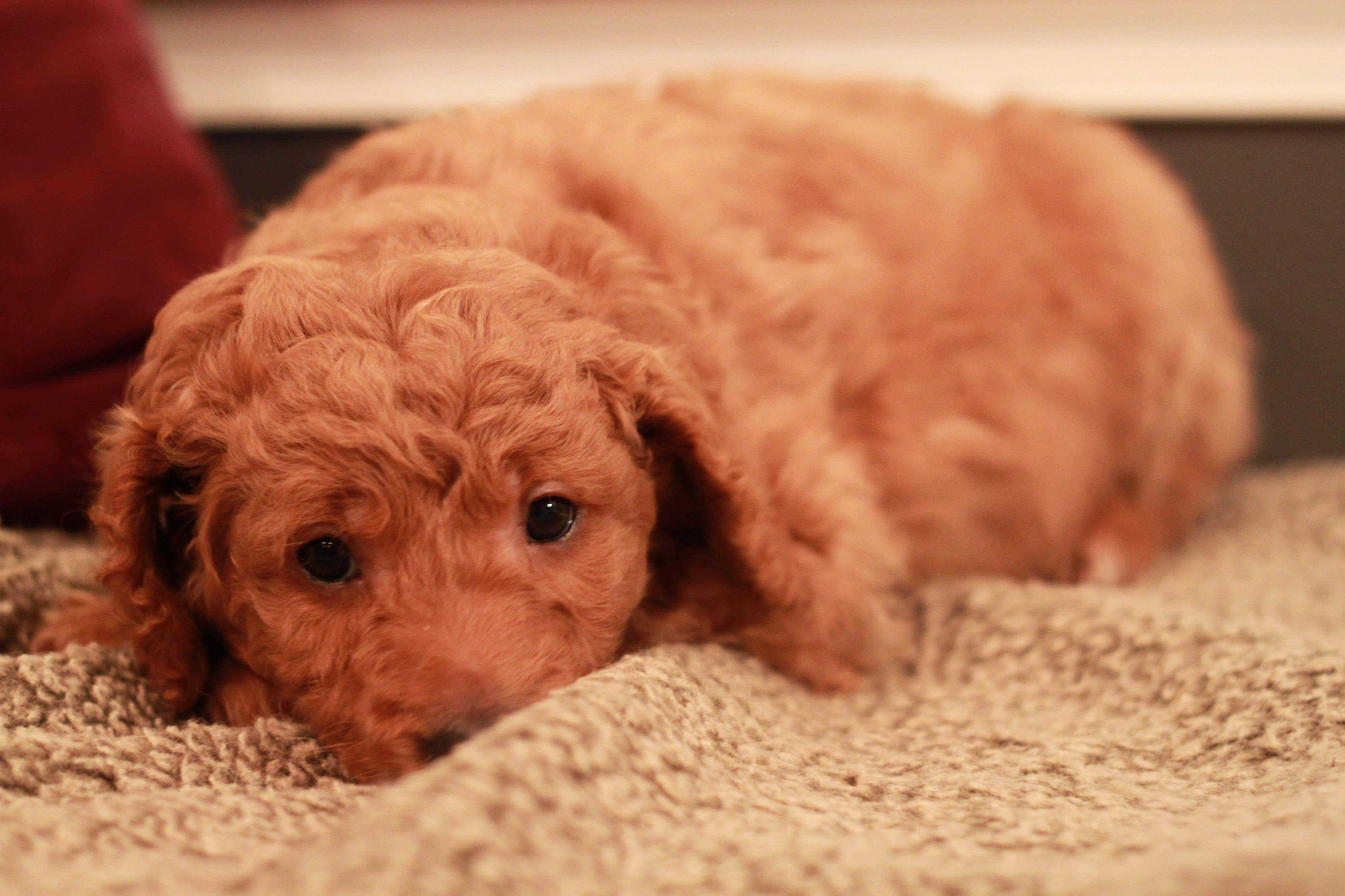Teddy, red Goldendoodle puppy at 6 weeks old from