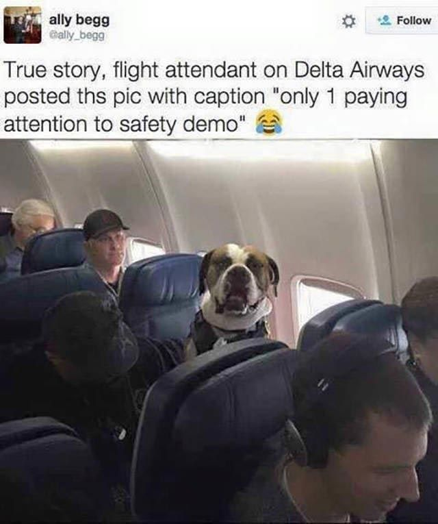 16 Times Dogs Attended Flights And Were The Best Passengers Ever