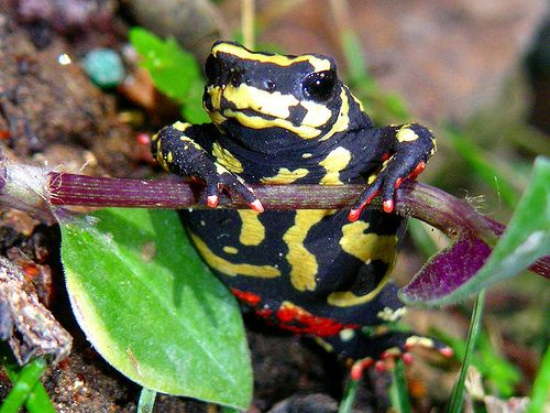 Bumble Bee Toad:)   Frogs   Pinterest   Ranas