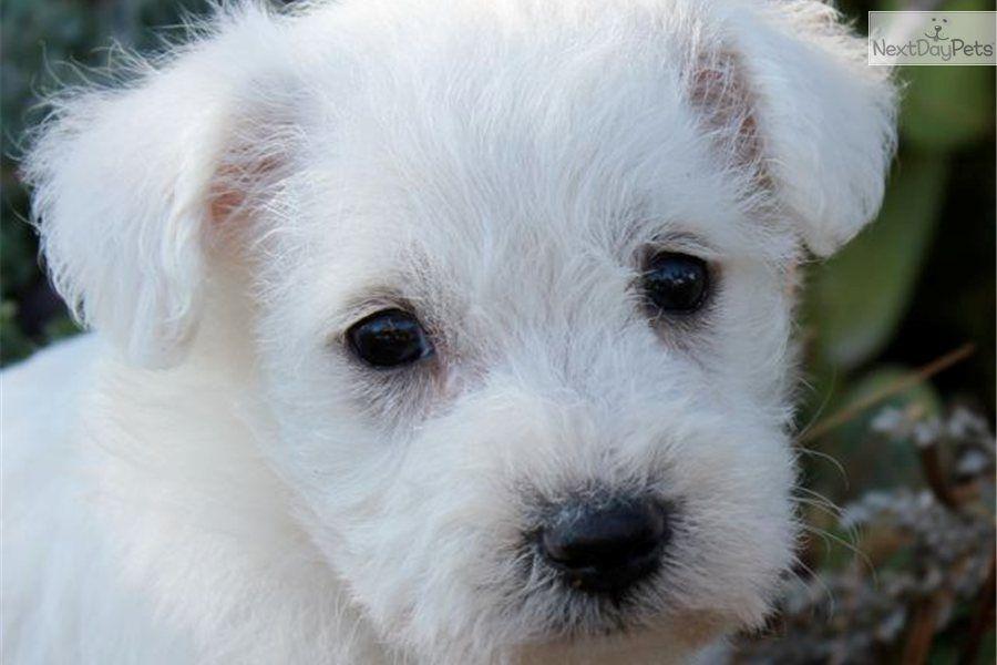 Adorable friendly schnoodle boy charlie schnoodle dog