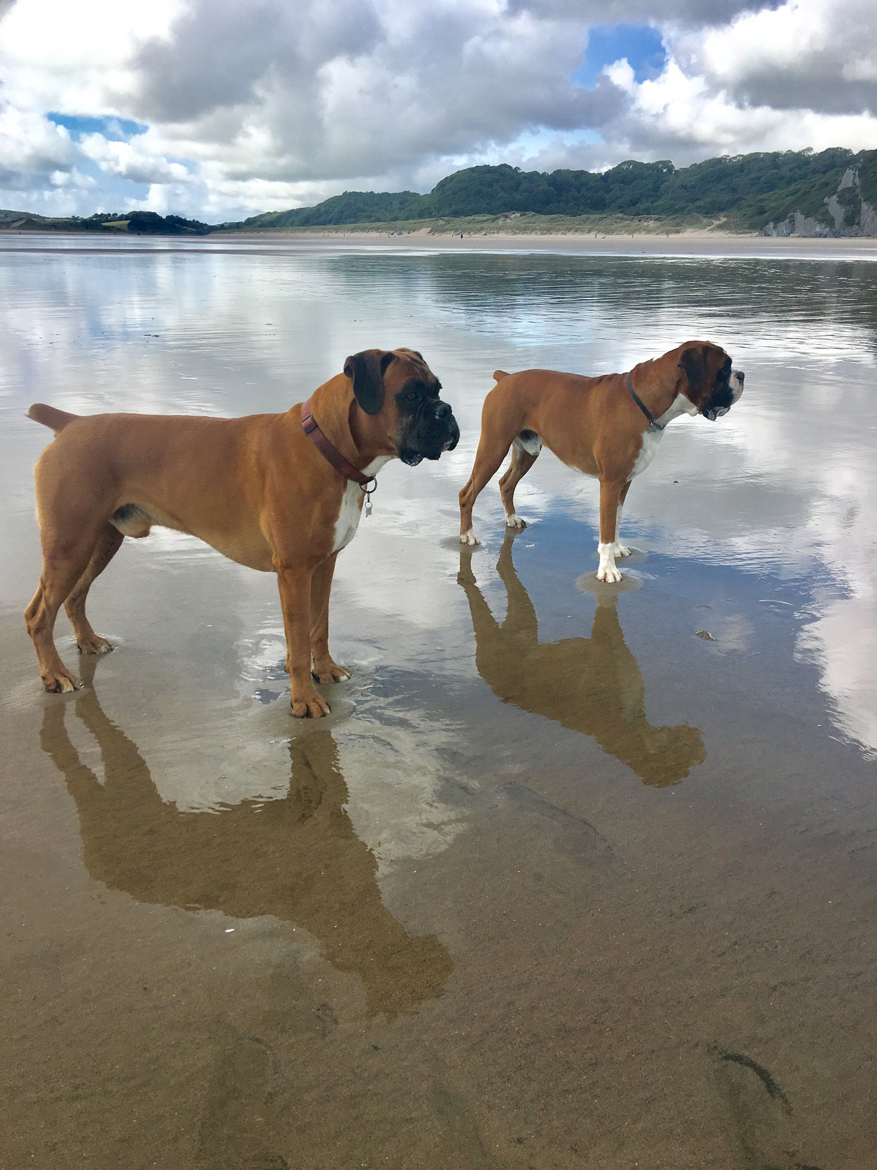 Apareamiento De Perros Boxer Videos Reflections Of Henry And Ike Poised Gossos Pinterest