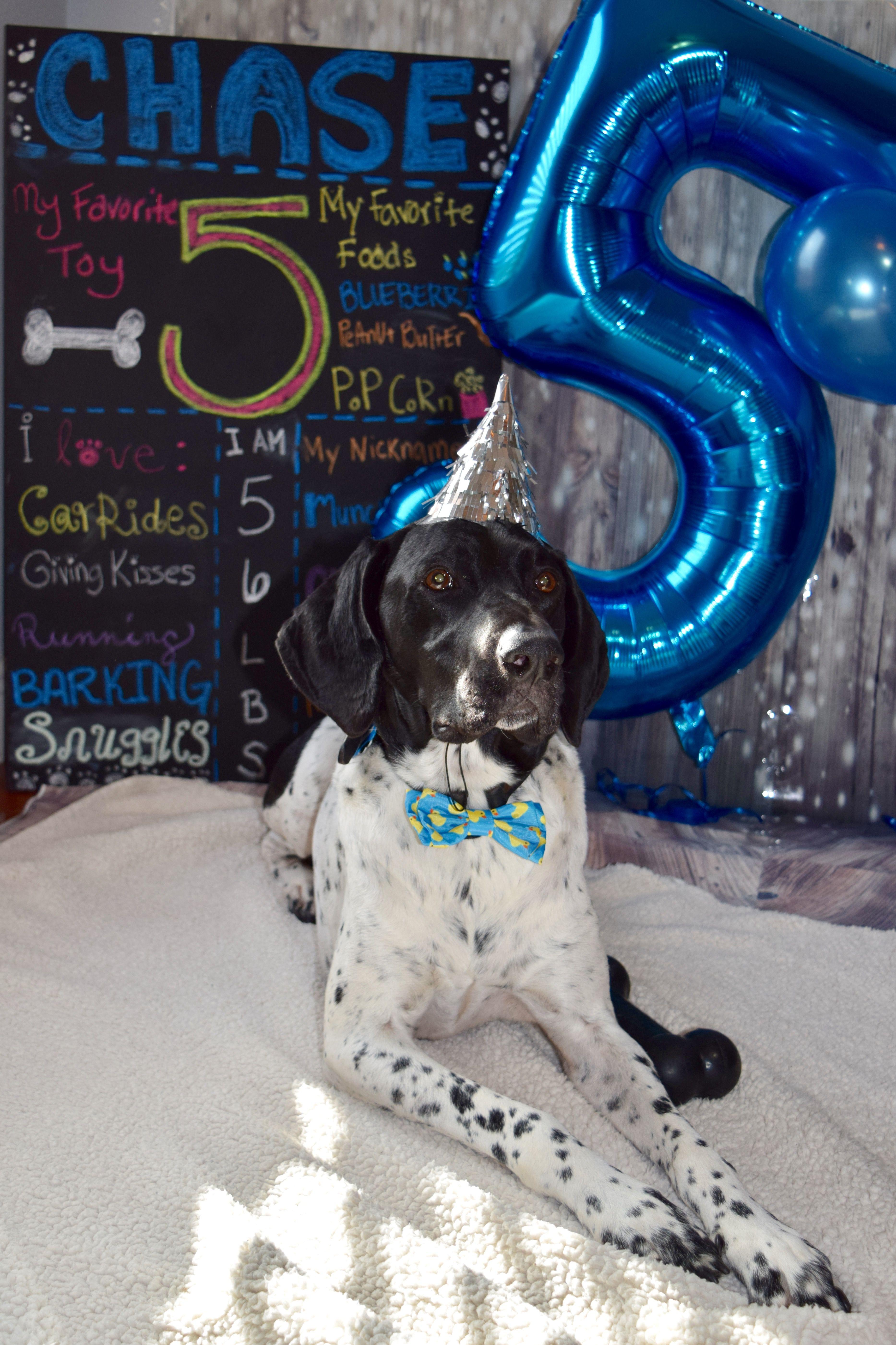 Dog Birthday Spoiled dogs, German shorthair, Dogs