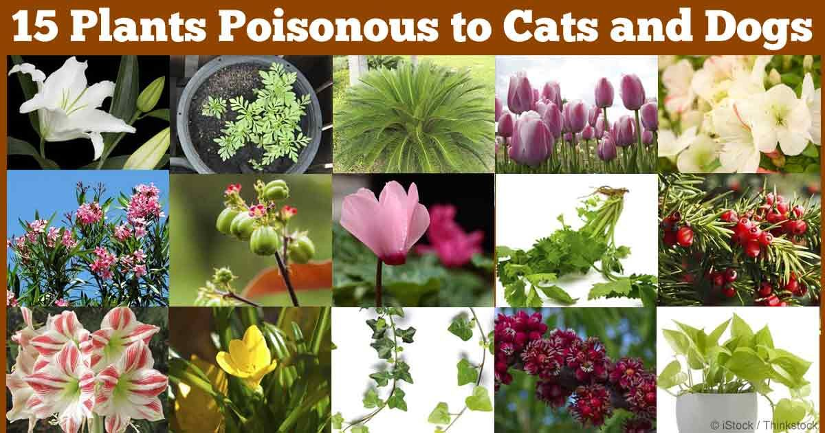 photos of house plants poisonous to cats. Black Bedroom Furniture Sets. Home Design Ideas