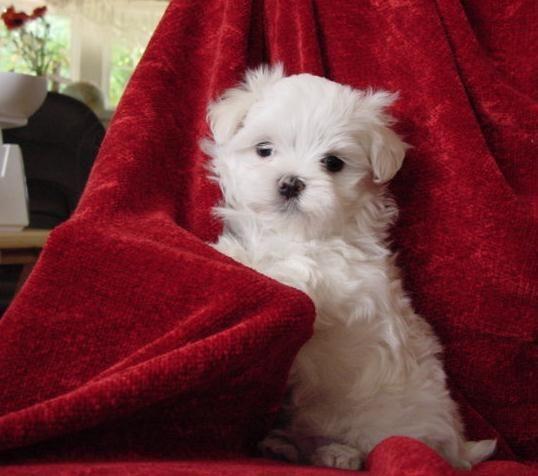 Maltese Puppies For Sale Maltese Breeder Diamond J S Maltese Oregon Maltese Puppies For Sale Maltese Puppy Puppies
