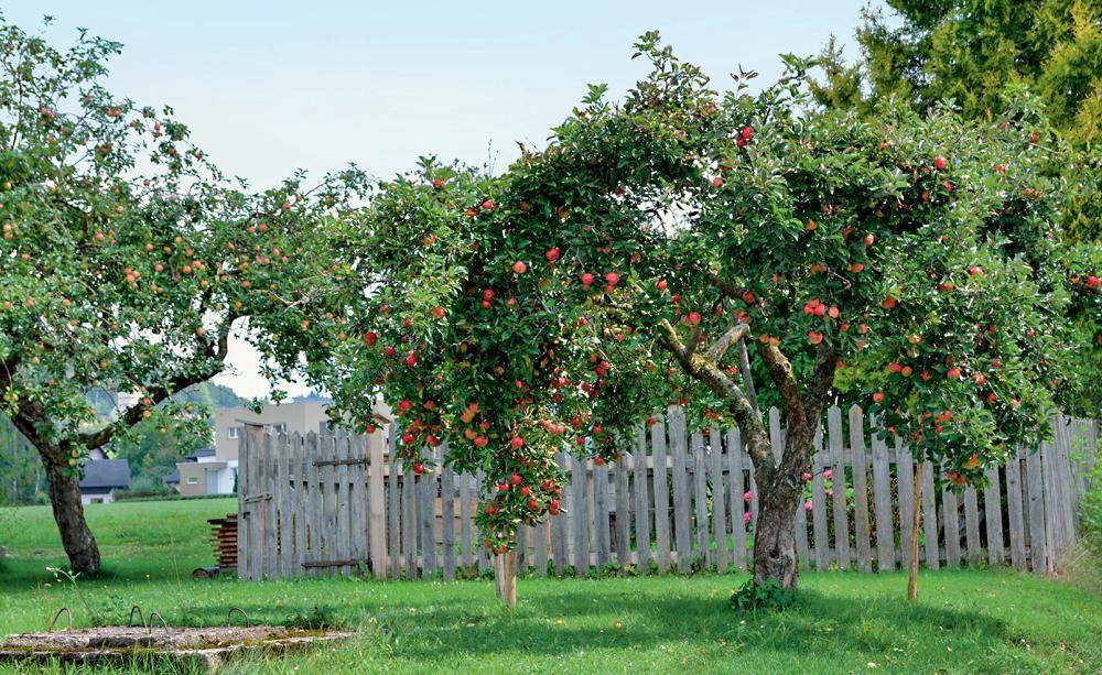 hochstamm apfelbaum