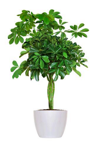 Szeflera Porady Leroy Merlin Plants Indoor Plants Easy House Plants