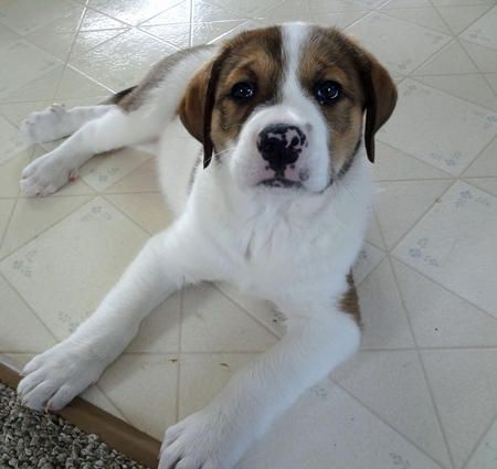 Samson The Great Pyrenees Mix Great Pyrenees Boxer Dog Breed