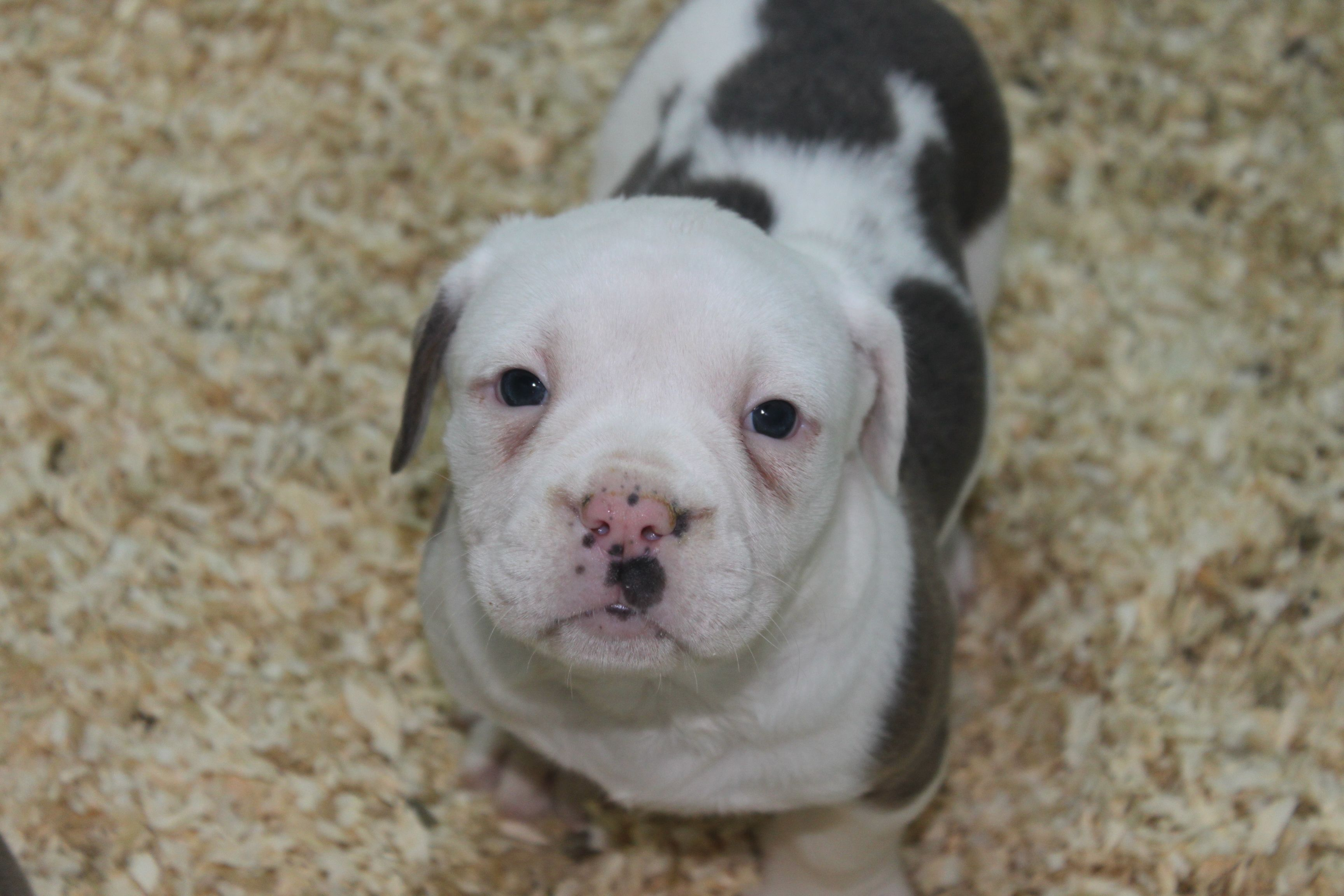 Pin By Windsor Springs On Olde English Bulldogge Puppies For Sale
