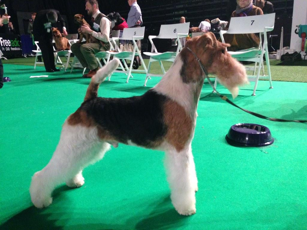 BOB Wire Fox Terrier - Ch King Arthur Van Foliny Home | CRUFTS ...
