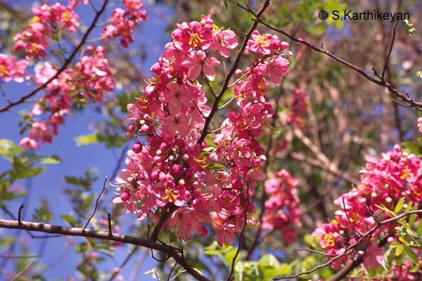 Flowering Trees I Karthik S Journal Flowering Trees Pink Flowering Trees Trees To Plant