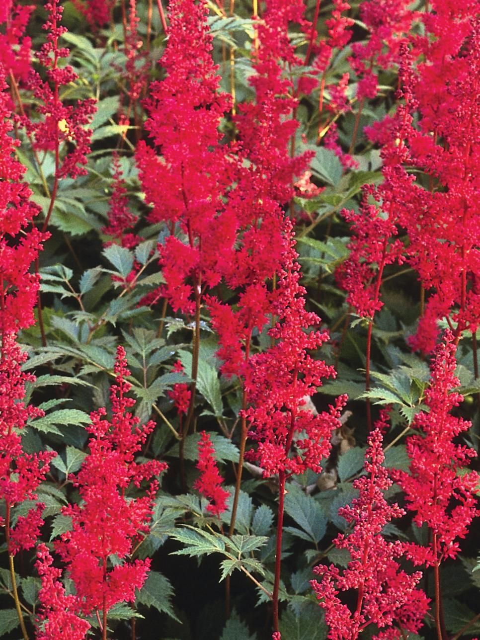 Shade-Tolerant Plants for Woodland Gardens | Shade loving shrubs ...