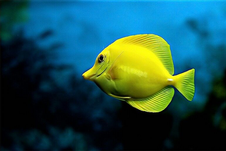 Yellow Tang Underwater Fish Underwater Creatures Photos Of Fish