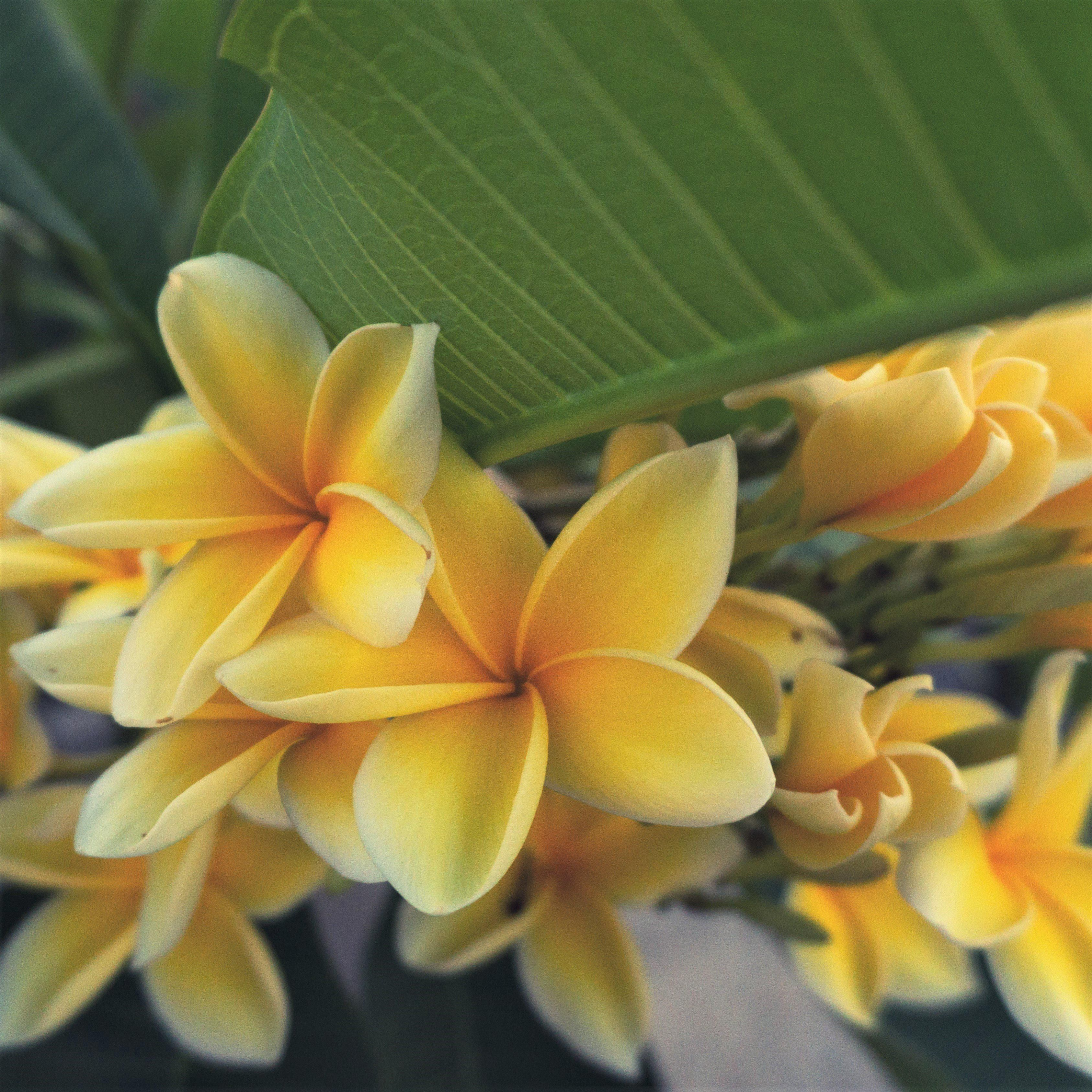 Fragrant Yellow Plumeria Potted Plants For Sale | Plumeria Yellow Shades Selected for unsurpassed beauty and fragrance, our Yellow Plumeria plants are a buttery yellow color with vibrant, sunny centers. Plumeria grow well outdoors all summer long. Full sun and well-drained soil will keep these plants happy. Really drought tolerant! Bring indoors when the temperatures cool. Easy to grow! Our plumeria plants are well-rooted stock taken from strong, mature Hawaiian mother trees. These 12