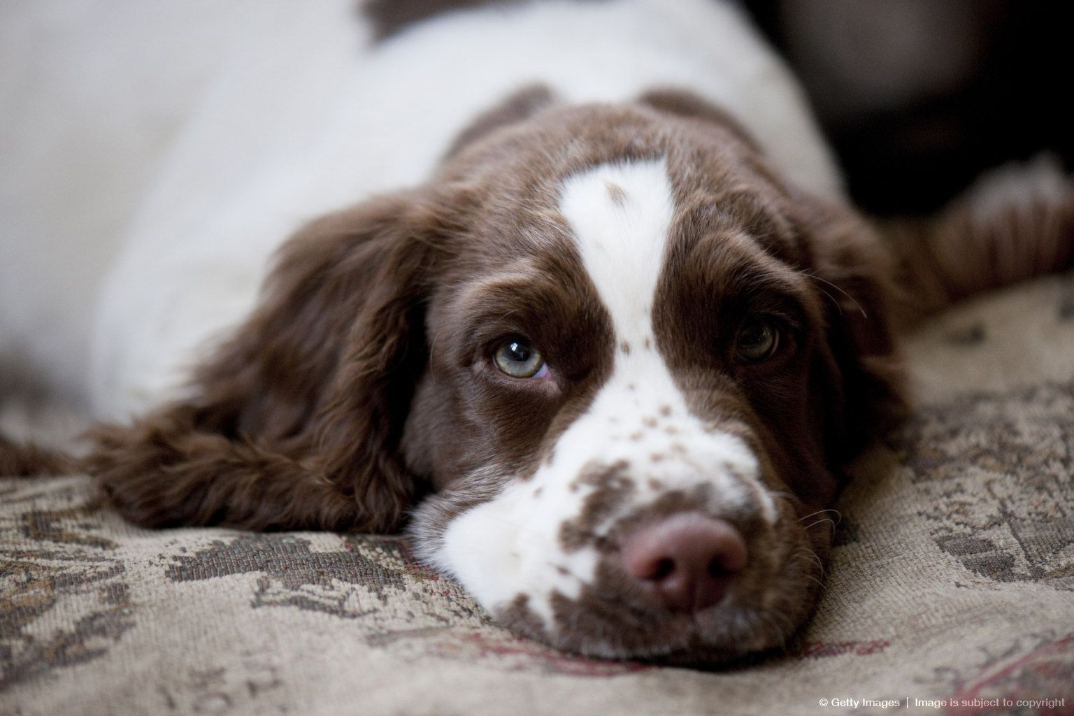Three Month Old English Springer Spaniel Look At The Color Of