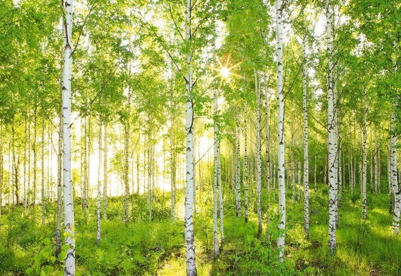 Fototapete kinderzimmer baum  Wandbild Foto Tapete Sonnig Wald Szene Grün & Weiß Birke Bäume ...