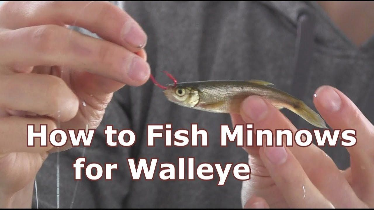 Walleye Fishing With Minnows How To Hook And Jig Live Bait Fishingbait Walleye Fishing Tips Fish Walleye Fishing