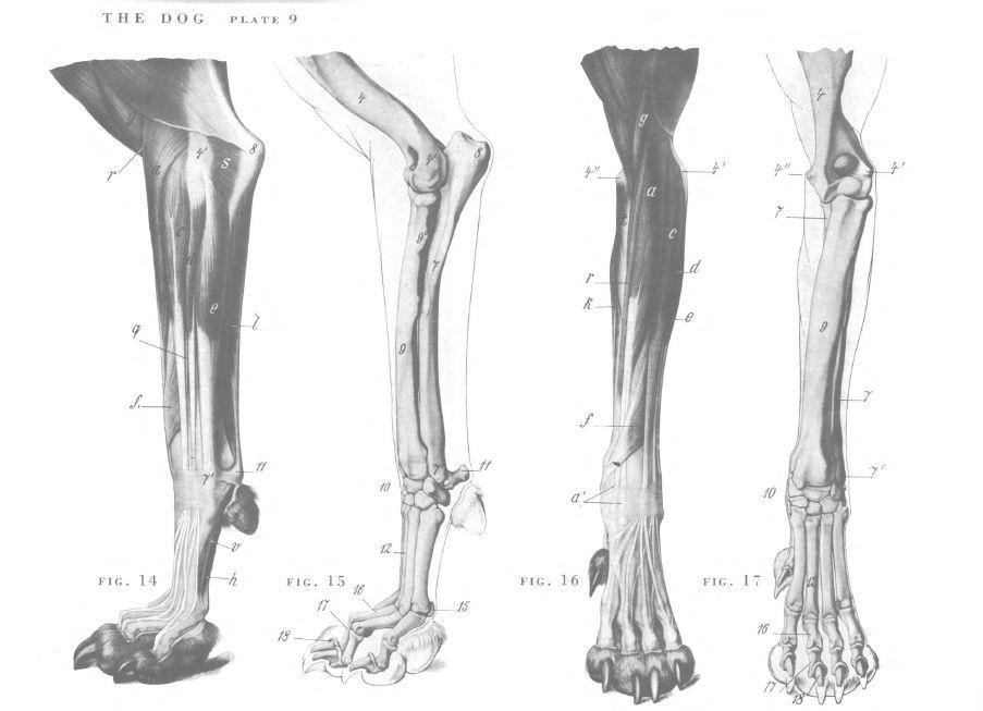 Dog front leg bone anatomy