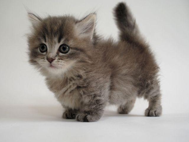munchkin kitten | Kittens | Fluffy kittens, Munchkin ...