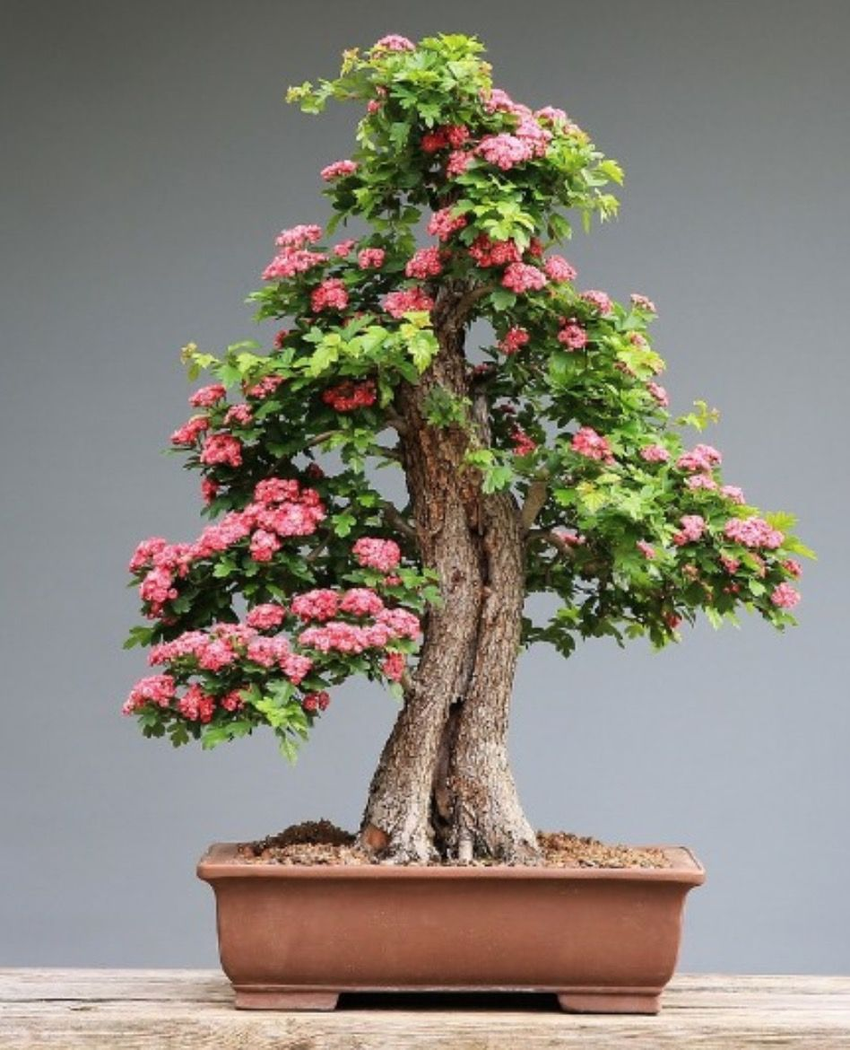 A Beginners Guide To Growing A Bonsai Tree At Home