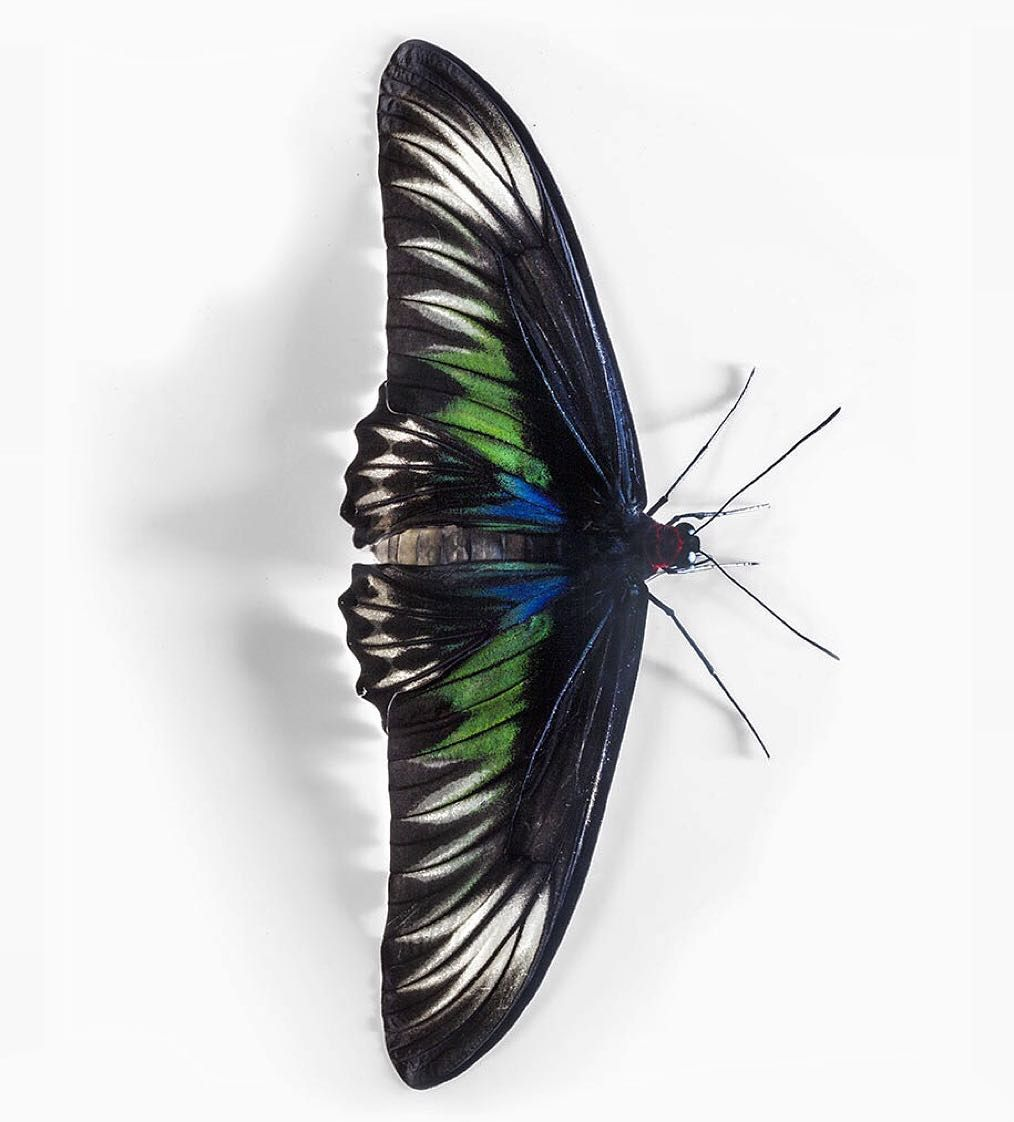 Trogonoptera brookiana also called Raja Brooke's Birdwing is a butterfly from Australasia / Indomalaya ecozone (Australia). The first description was in 1855 by Alfred Russel Wallace (1823-1913). Trogonoptera brookiana has an optical effect. At a diagonal point of view the wing will change its colour. @RobertClarkphoto @thephotosociety  @natgeo by natgeo