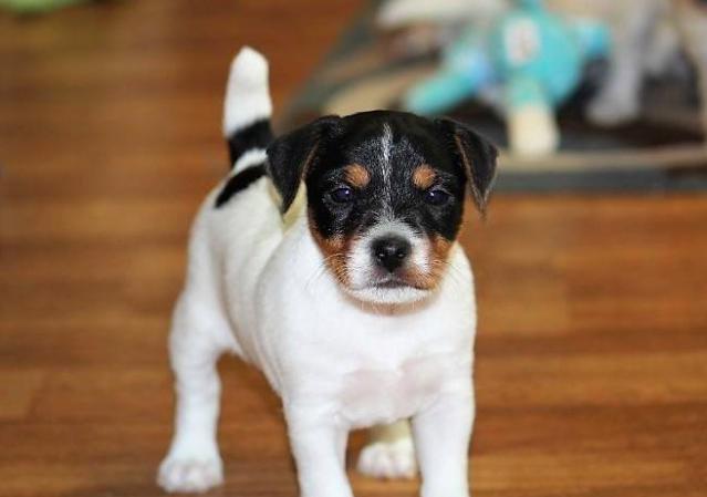 Good Breeder Hidden Acres Working Jack Russell Terriers Jack Russell Jack Russell Terrier Jack Russell Terrier