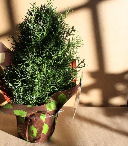 Look! Rosemary Trees At Whole Foods | Plants