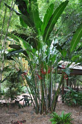 Heliconia Bihai X Caribaea Cv Hot Rio Nights Bamboo Land Nursery Qld Australia Tropical Landscaping Tropical Garden Design Bali Garden