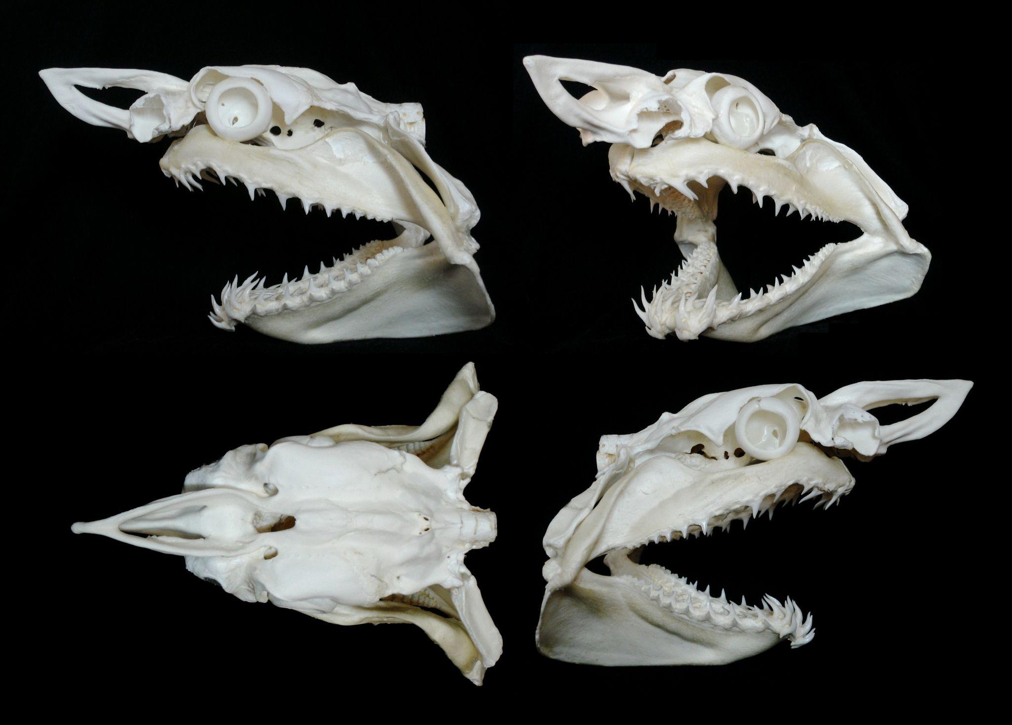 Crâne de Requin Mako / Mako Shark Skull (Isurus oxyrinchus) en 2018 ...