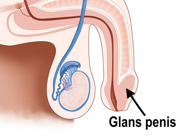 this might be the hardest penis quiz ever | glans penis, wells and, Skeleton