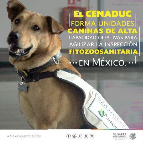 El CENADUC forma unidades caninas de alta capacidad olfativas para agilizar la inspección fitozoosanitaria en México. SAGARPA SAGARPAMX #MéxicoSiembraÉxito