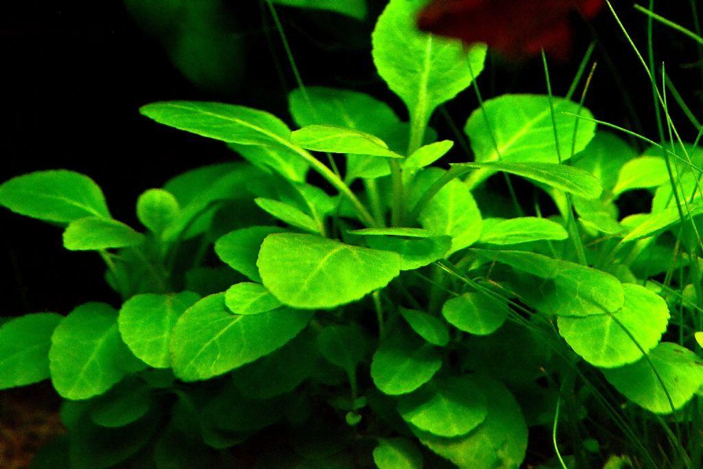 Lobelia Cardinalis Small Form Planted Tank Tropical Plants