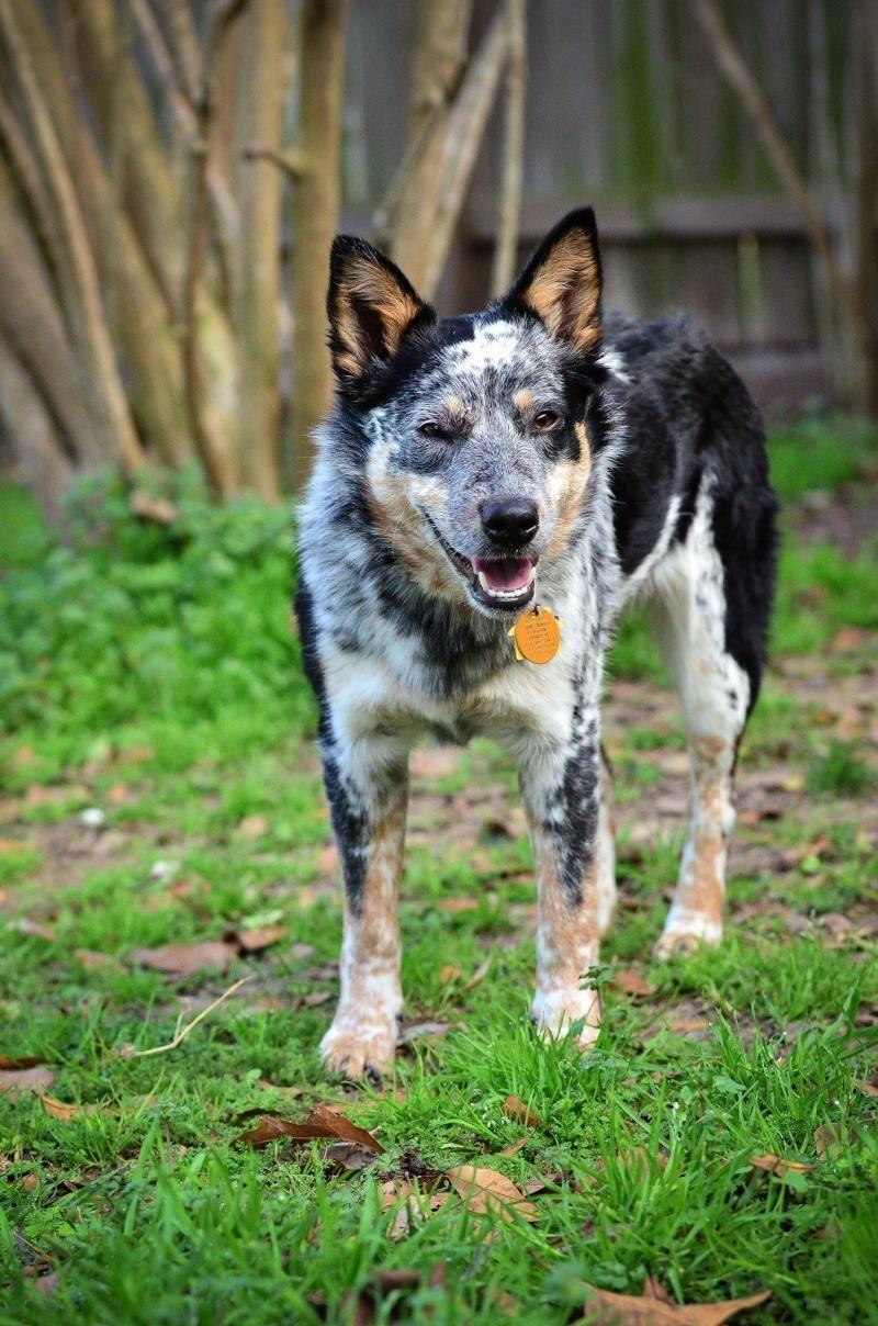 Adopt Annie On Petfinder Blue Heeler Dogs Rescue Dogs Australian Cattle Dog Blue Heeler