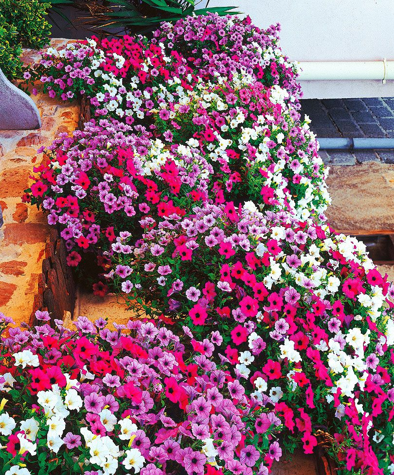 Petunia Large Flowered Hanging Petunia Surprise Mixed Plants
