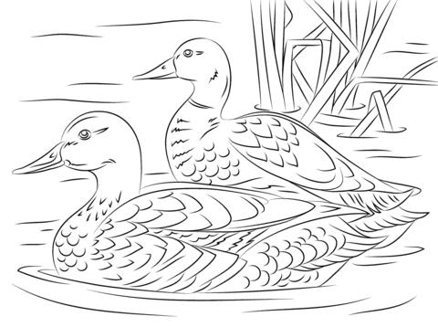 Pair Of Mallard Ducks Coloring Page