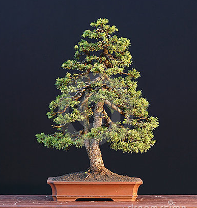 bonsai pinechristmas tree