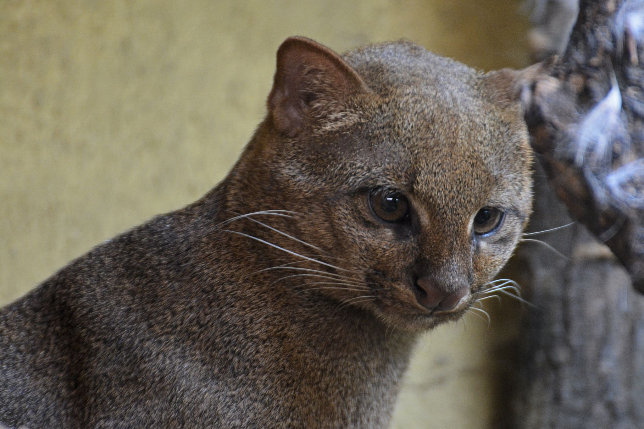 Jaguarundi Black footed cat, Sand cat, Leopard cat