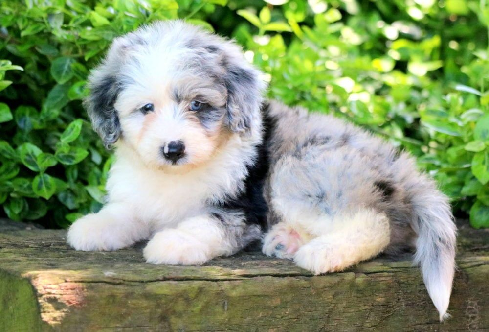 Pin On Mini Aussiedoodle Puppies