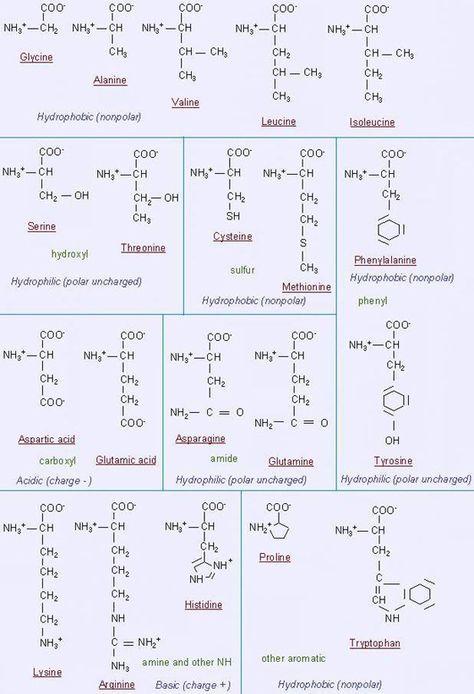Amino Acid breakdown Molecules Chemistry Pinterest - amino acid chart