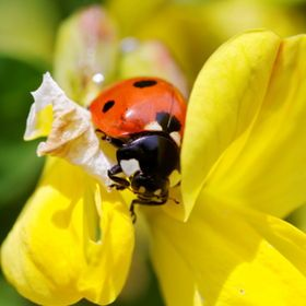 Lady Bug with yellow flower.